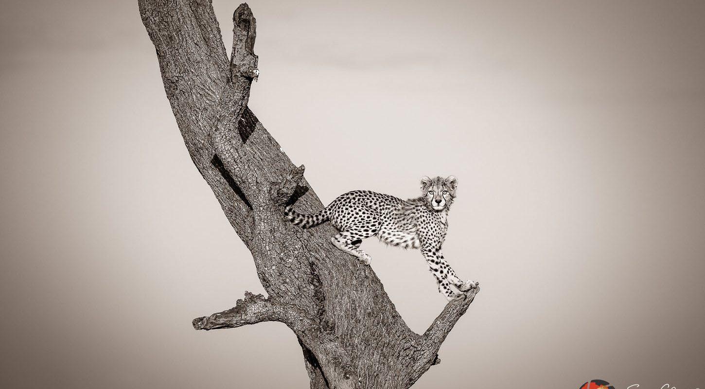 Frame - Cheetah up tree