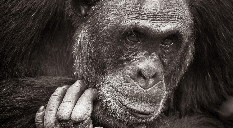Frame - Chimpanzee