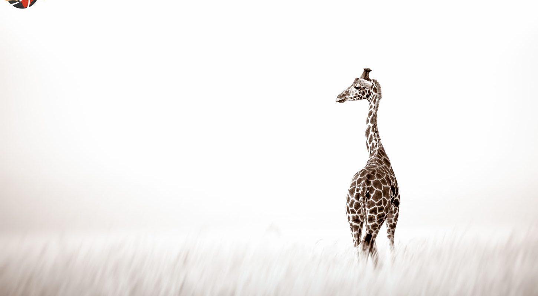 Frame - Giraffe in grass
