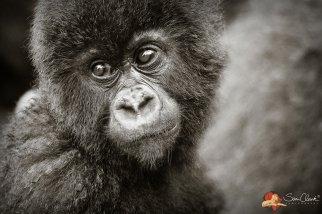 Frame - Gorilla