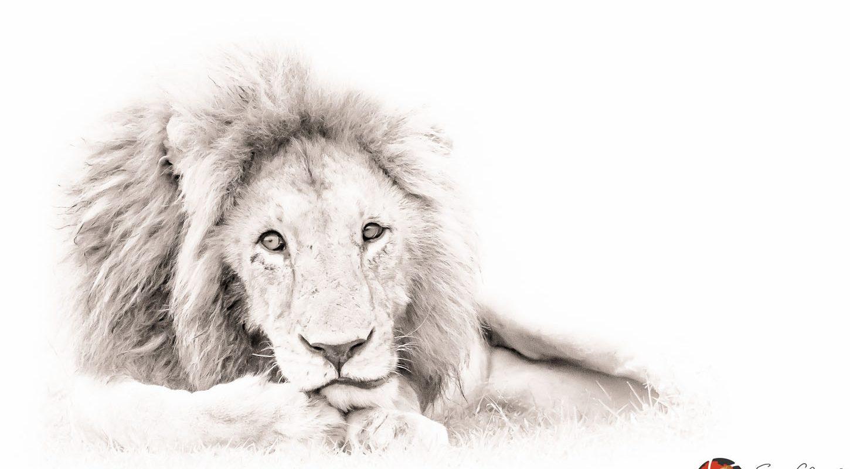 Frame - Lion comtemplating
