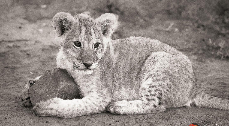 Frame - Lion cub - copyright Sam Clark Photography