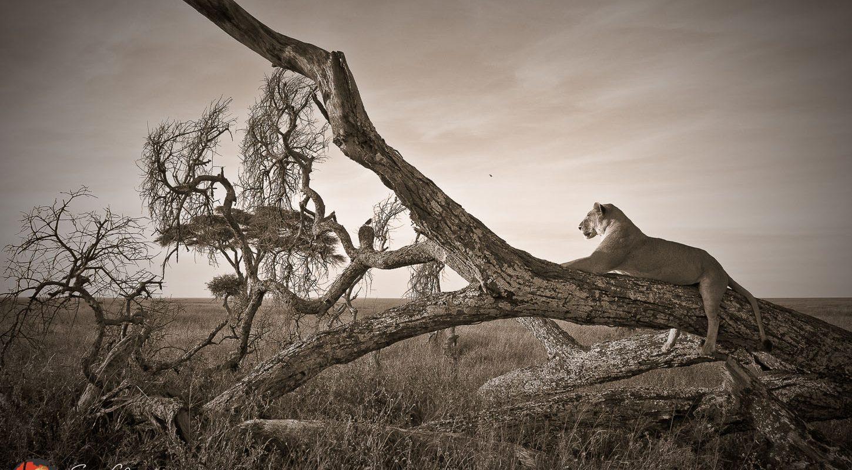 Frame - Lioness on branch