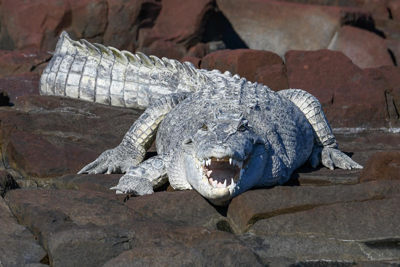 crocodile Ponant Cruises Kimberley